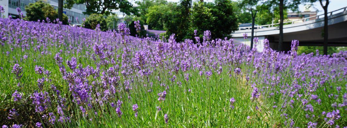 Lavendel GLücksorte in Mainz